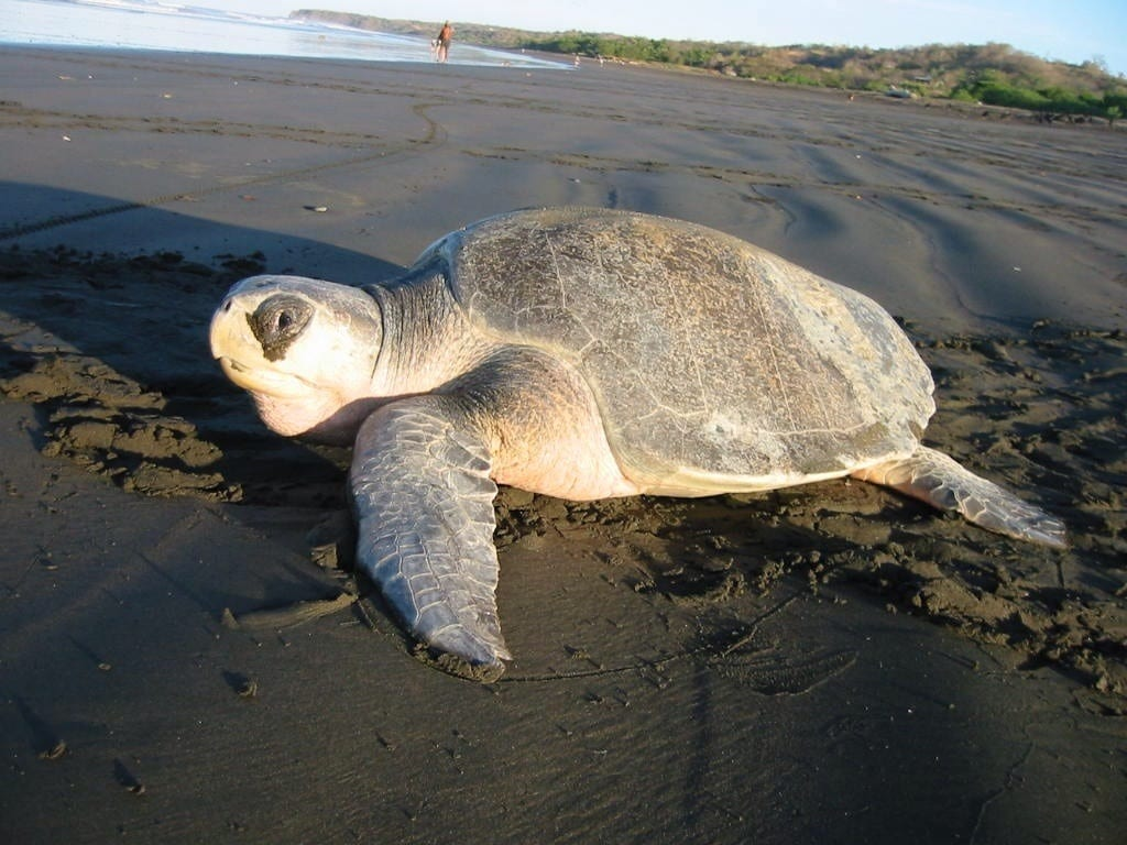 Olive ridley sea turtle - Creative commons
