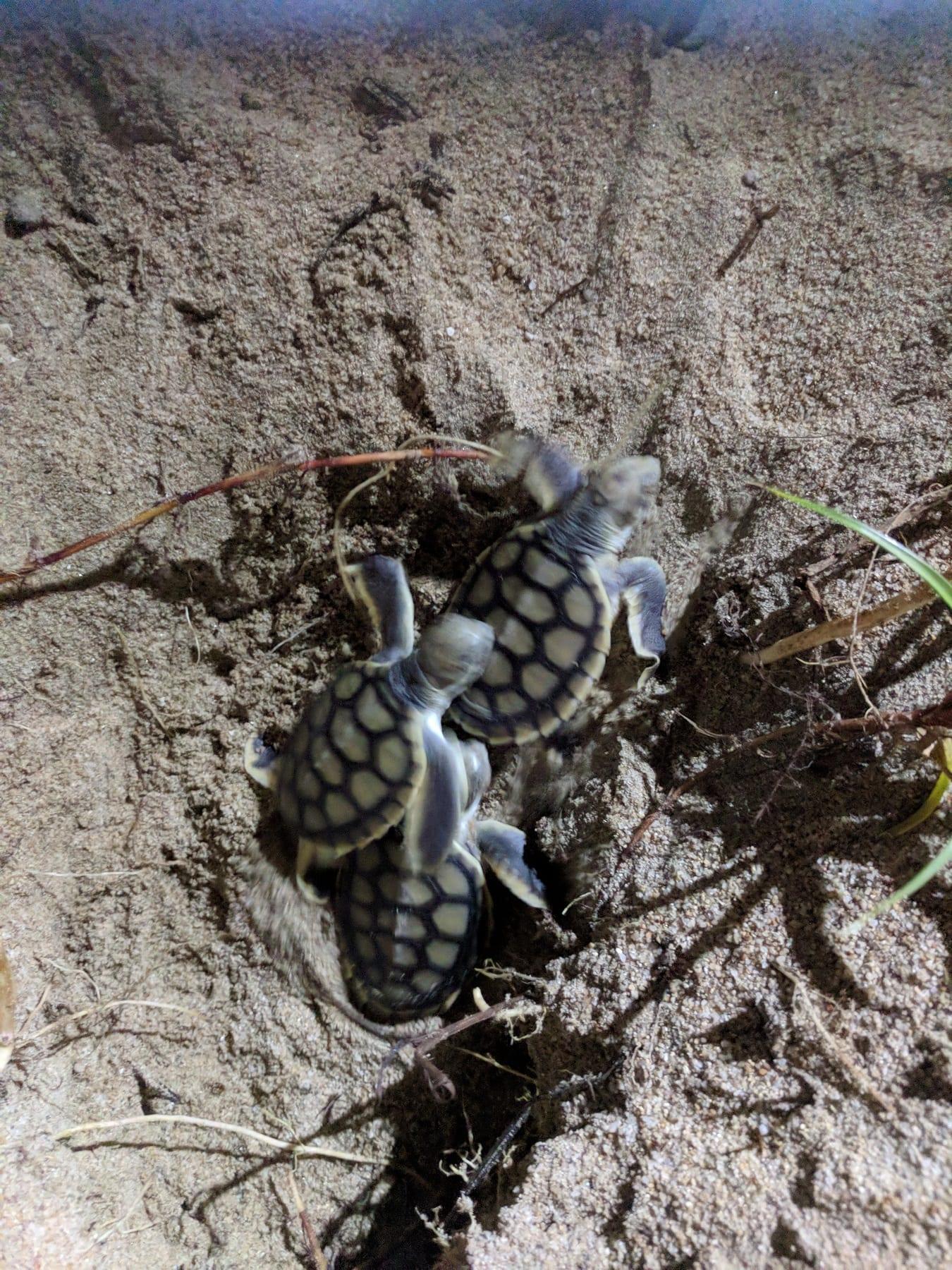 Flatback hatchlings - Cass Hayward