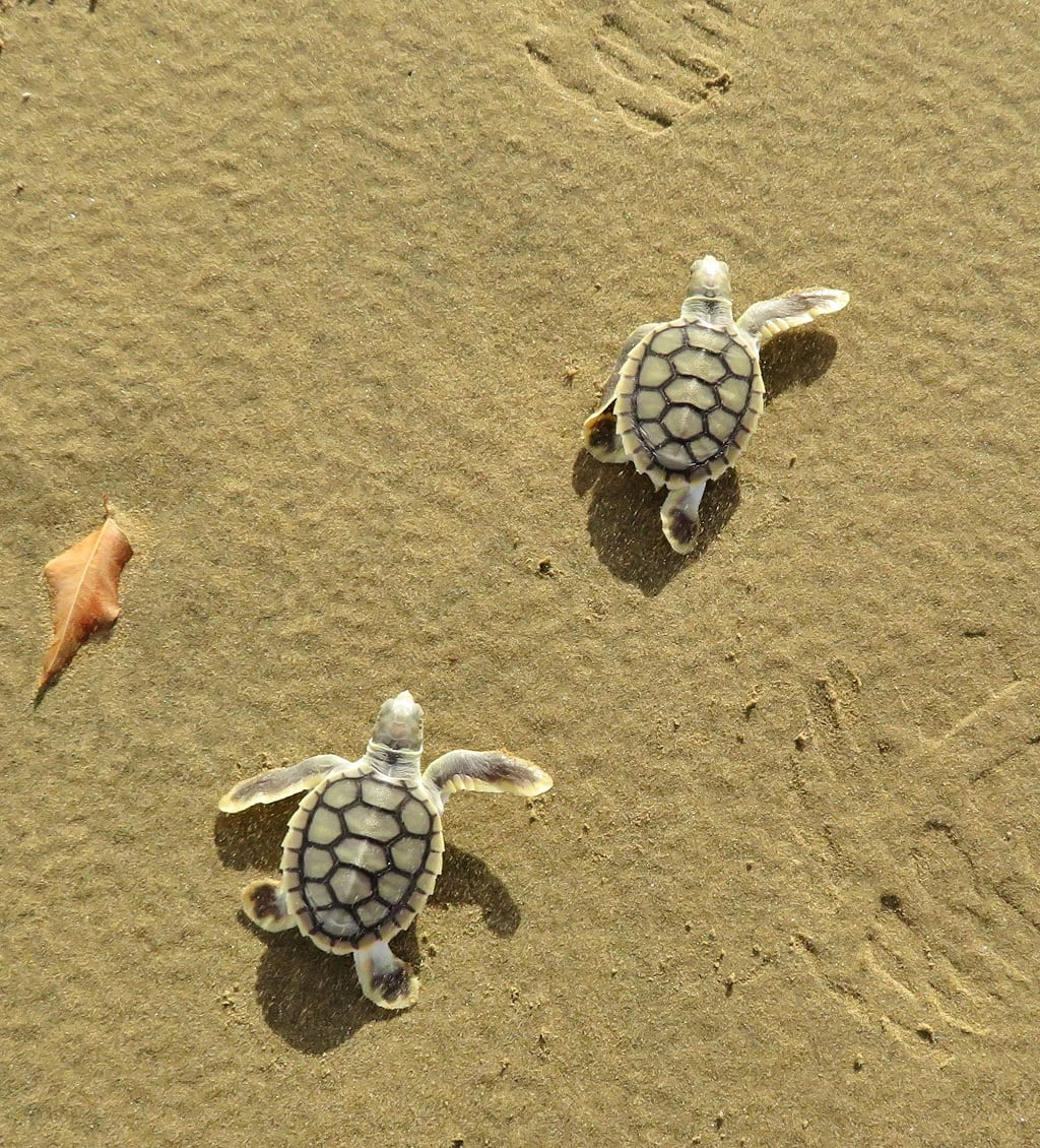 Flatback hatchlings - Joely Whiting