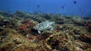 Hawksbill Turtle - Mal B
